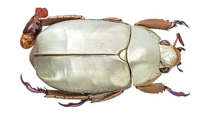 Silver chafer beetle